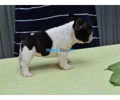 Inicio / Raised Akc French Bulldog Puppy En Venta